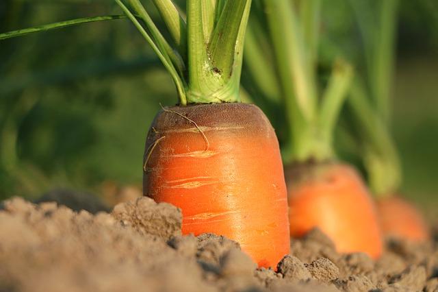 on ne fait pas pousser les carottes en tirant dessus