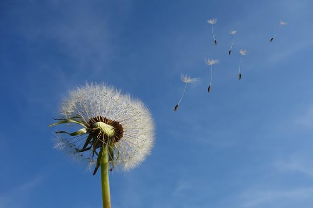 Pissenlit, pollinisation